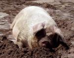schwein-im-schlammbad.jpg