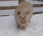 schwein-im-schnee.jpg