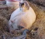 schwein-katze.jpg