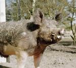 schwein-sir-henry.jpg