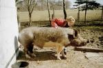 schwein-sir-henry2.jpg