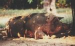 siesta-schwein2.jpg