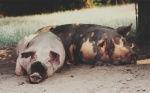 siesta-schweine1.jpg