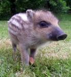 wildschwein-frischling.jpg