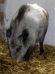 wildschwein-marie.jpg