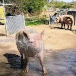 schweine-verein-tierfreiheit.jpg