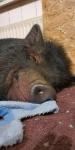schlafendes-Minischwein.jpg