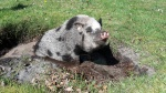 minischwein-badespass.jpg