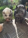 neugier-schweinchen.jpg