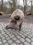 wildschwein-pia.jpg