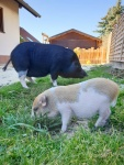 Minischweine-Kiwi-und-Elvis.jpeg