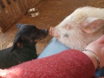 schweinchen-hund-und-mensch.jpg