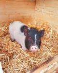 minischwein-daisy.jpg