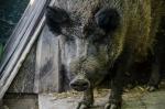 wildschwein.susi.jpeg