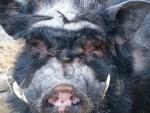 minischwein-herbert.jpg
