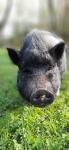 minischwein-blümchen.JPG