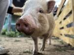 minischwein-paula.jpg