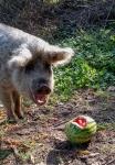wollschwein-und-wassermelone.jpg