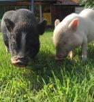 minischweine-fritz-und-paula.jpg