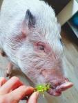 minischwein-rosalie.jpg