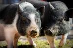 minischweine-porky-und-borsti.jpg