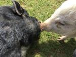 sozialkontakt-bei-minischweinen.jpg
