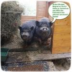 minischweine-im-stall.jpg