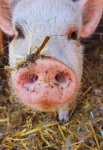 minischwein-deichmanns-farm.jpg