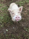 Minischwein-Alfred.jpg