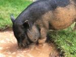 schweinchen-blubbert-im-wasser.jpeg