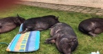 Anneliese's Schweinehorde.jpg