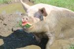 schweine-lieben-wassermelonen.JPG