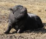 minischwein-dame-luise.jpg