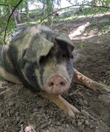 Sally-Mae-from-The-Pig-Preserve.jpg