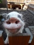 minischwein-schnute.jpg