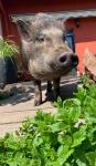 minischweinchen.jpg