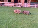 minischweine-auf-gruener-wiese.jpg