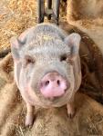 Minischwein-Elvis.jpg