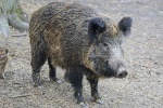 boar-2256297_640.jpg